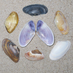 Banded wedge shell