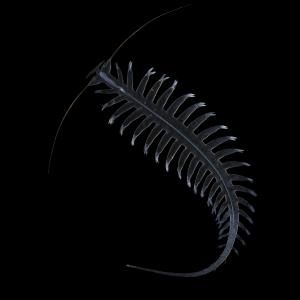 Helgoländer Paddelwurm