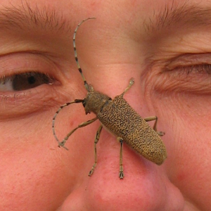 Other beetles