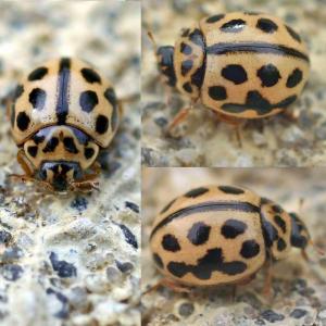 Sand ladybird