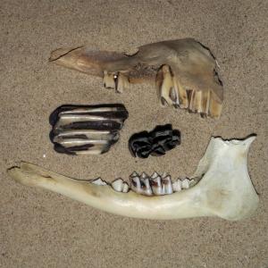Ruminant molar