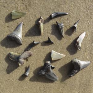 Zahn Hai