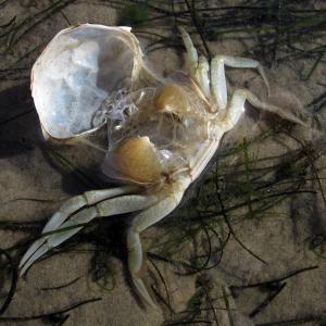 Häutung Strandkrabbe