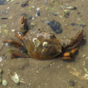 Shore crab discoloration